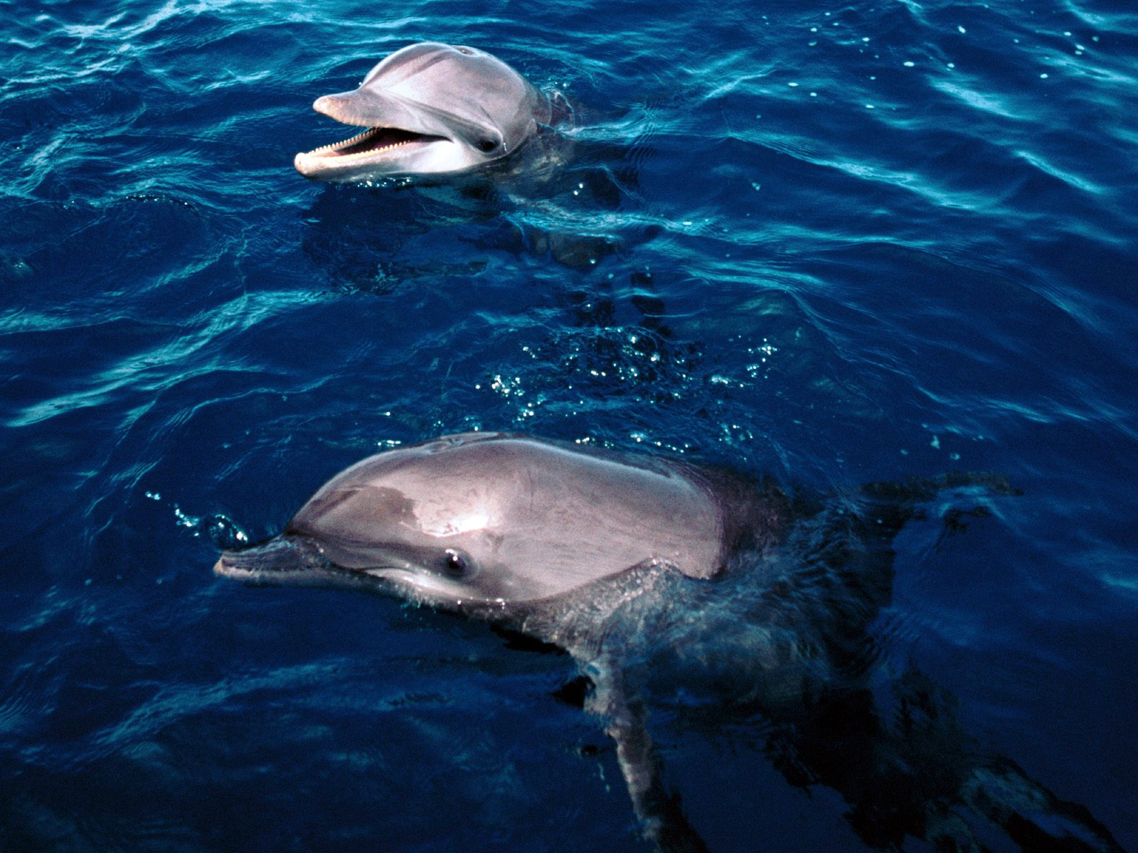 Free downloads of frolicking dolphins honduras desktop wallpaper of